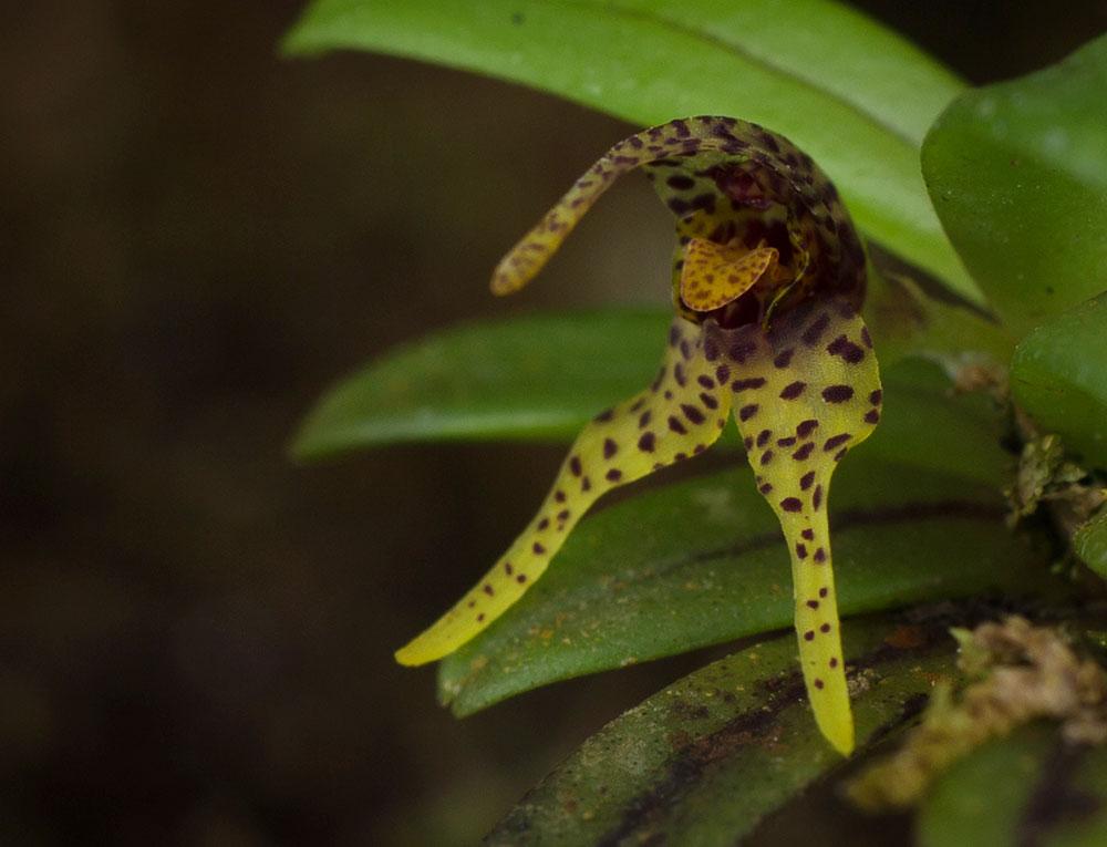 树蛹兰属Dryadella Luer