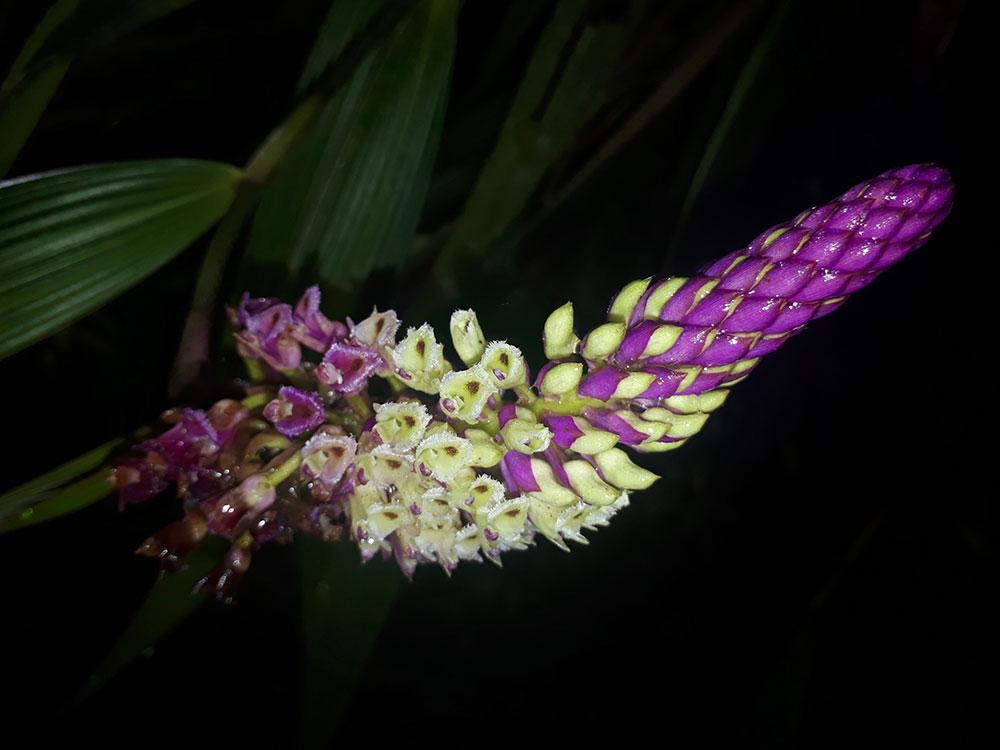 厄勒兰属Elleanthus C.Presl