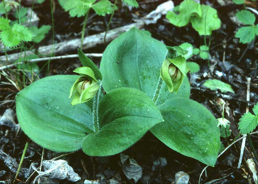雅致杓兰Cypripedium elegans Rchb.f.