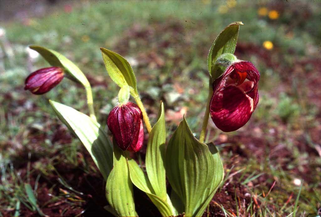 高山杓兰Cypripedium himalaicum Rolfe