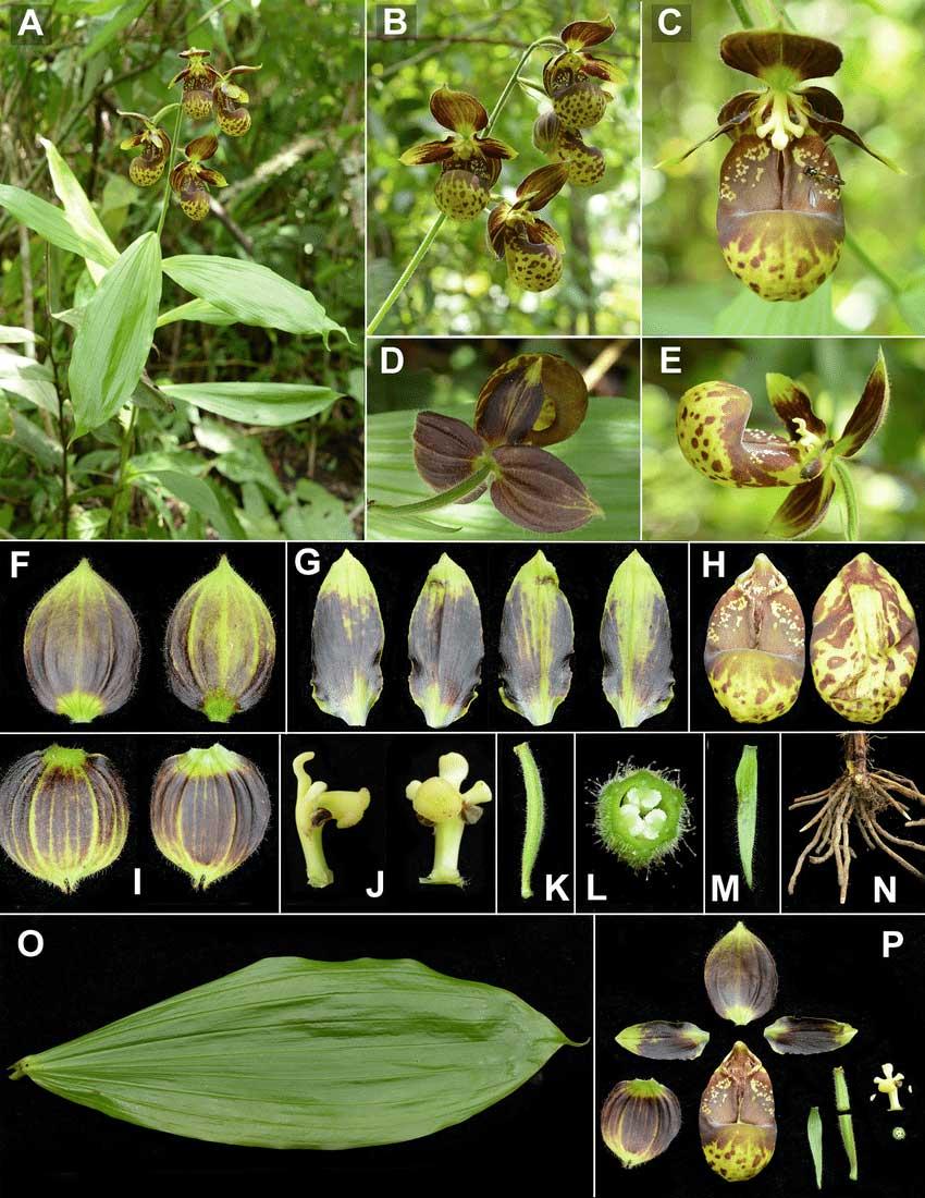 暖地杓兰Cypripedium subtropicum S.C.Chen & K.Y.Lang