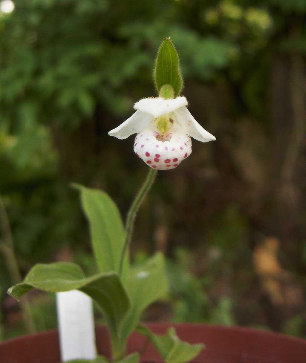 宽口杓兰Cypripedium wardii Rolfe