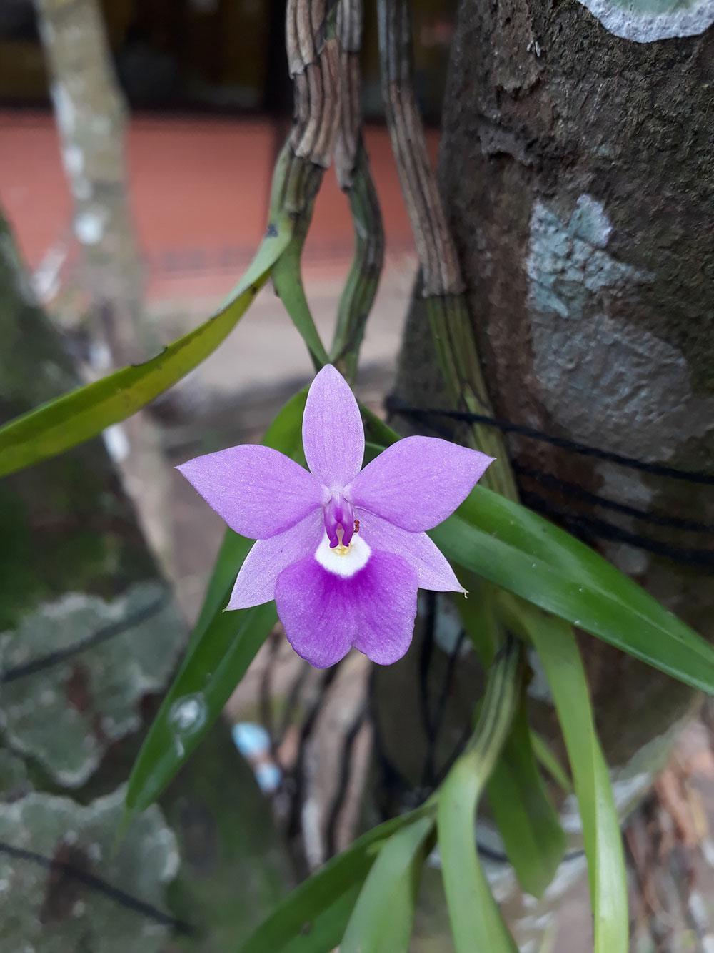 裂床兰Dimerandra emarginata (G.Mey.) Hoehne