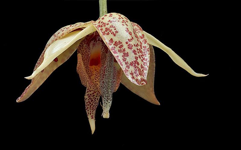 埃姆兰Embreea rodigasiana (Claes ex Cogn.) Dodson