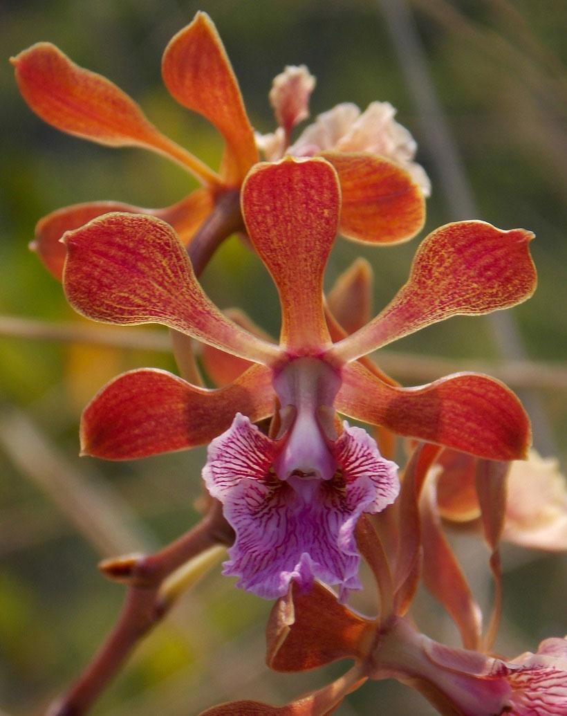 Encyclia hanburyi (Lindl.) Schltr.