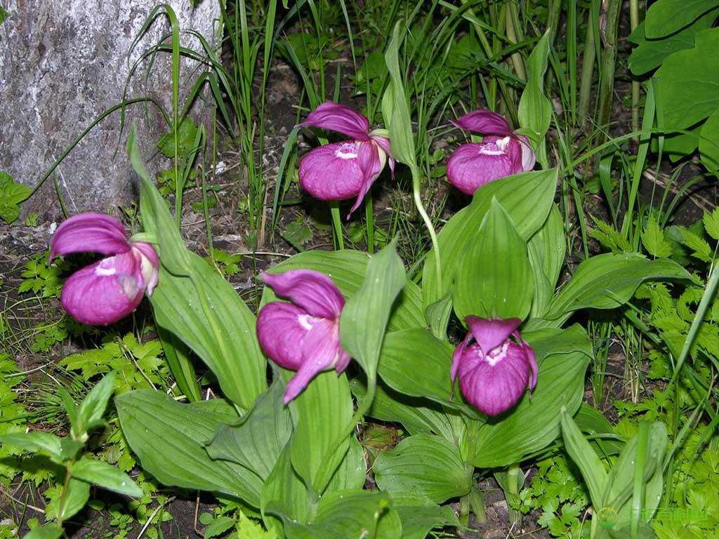 大花杓兰Cypripedium macranthum Sw.