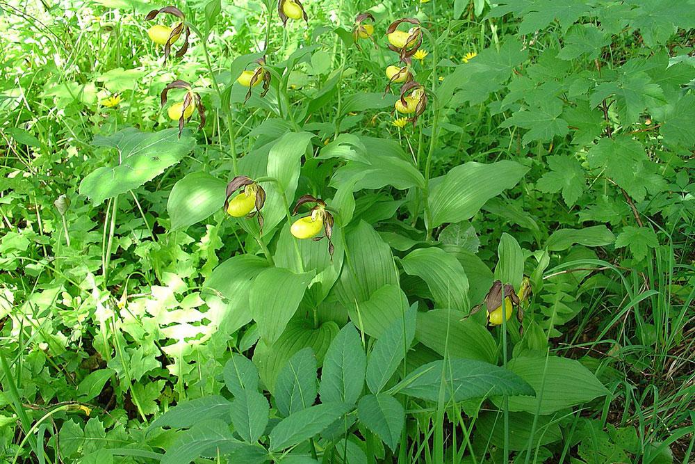 杓兰Cypripedium calceolus L.