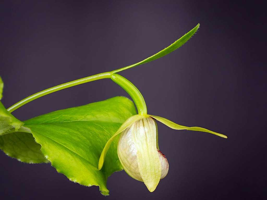 对叶杓兰Cypripedium debile Rchb.f.