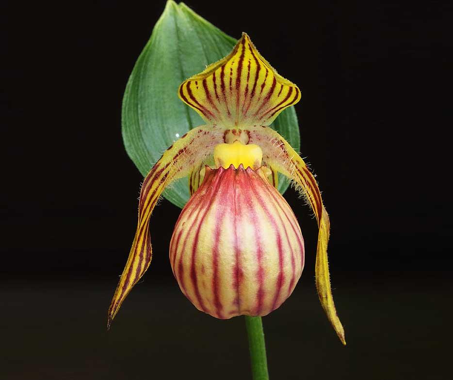 华西杓兰Cypripedium farreri W. W. Smith