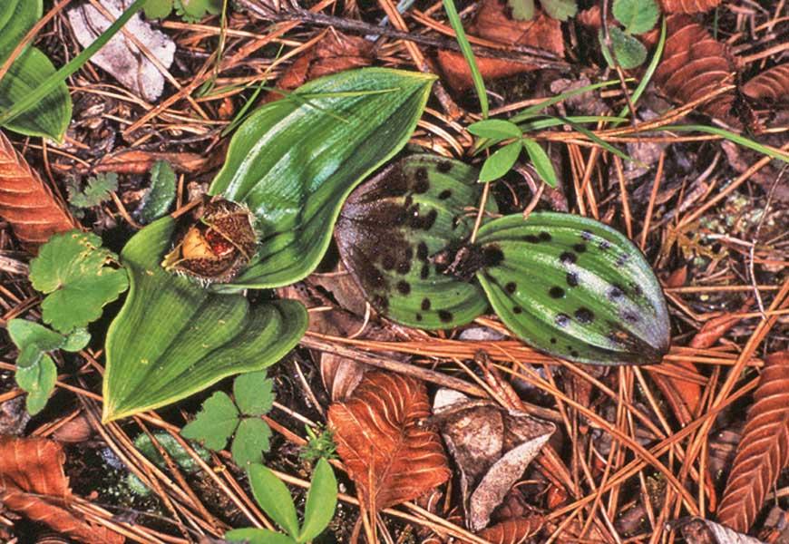 玉龙杓兰Cypripedium forrestii Cribb