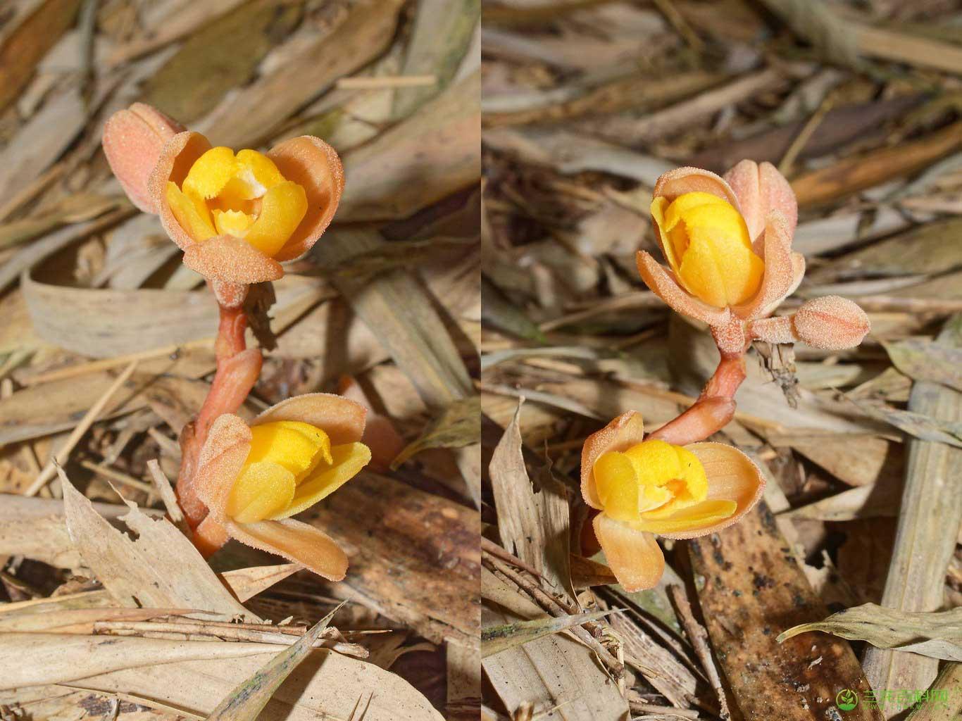 肉果兰Cyrtosia javanica Blume