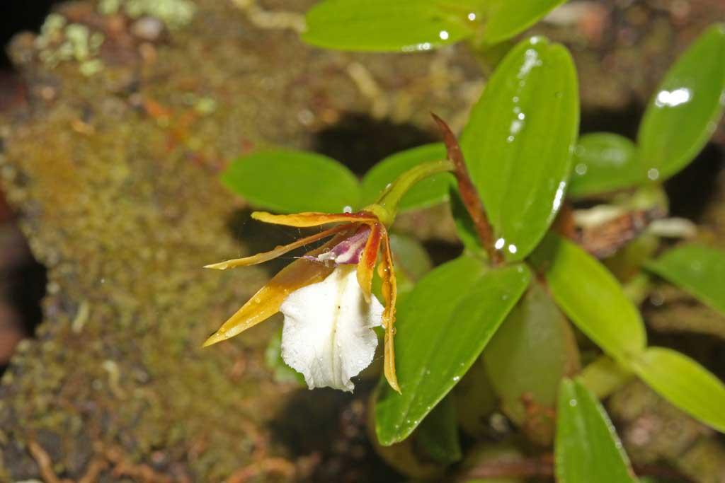 多茎小树兰属Dinema