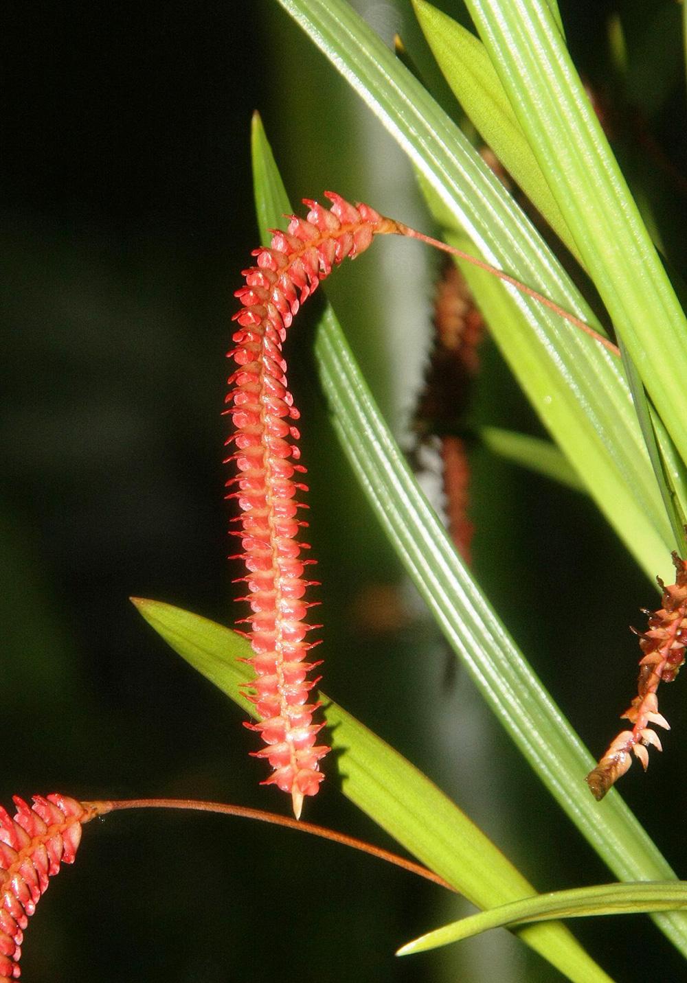 温氏足柱兰Dendrochilum wenzelii Ames