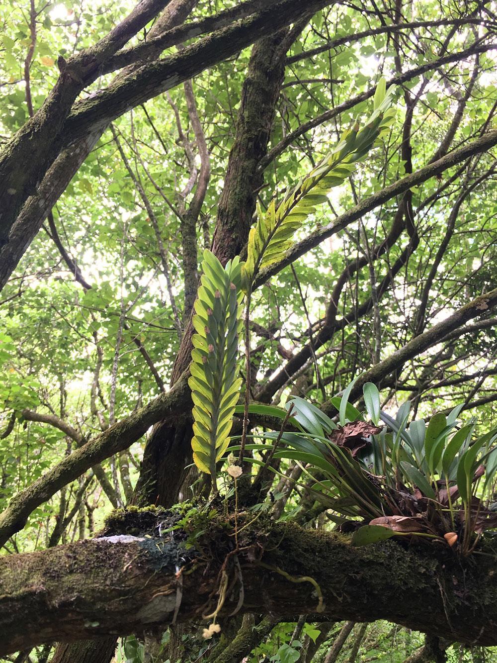 篦叶兰Dichaea glauca (Sw.) Lindl.