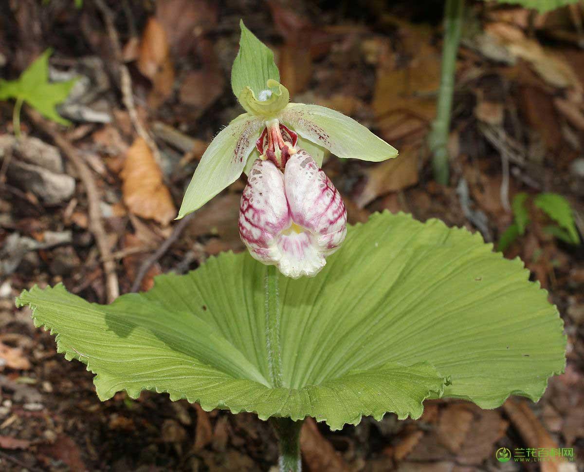扇脉杓兰Cypripedium japonicum Thunb.