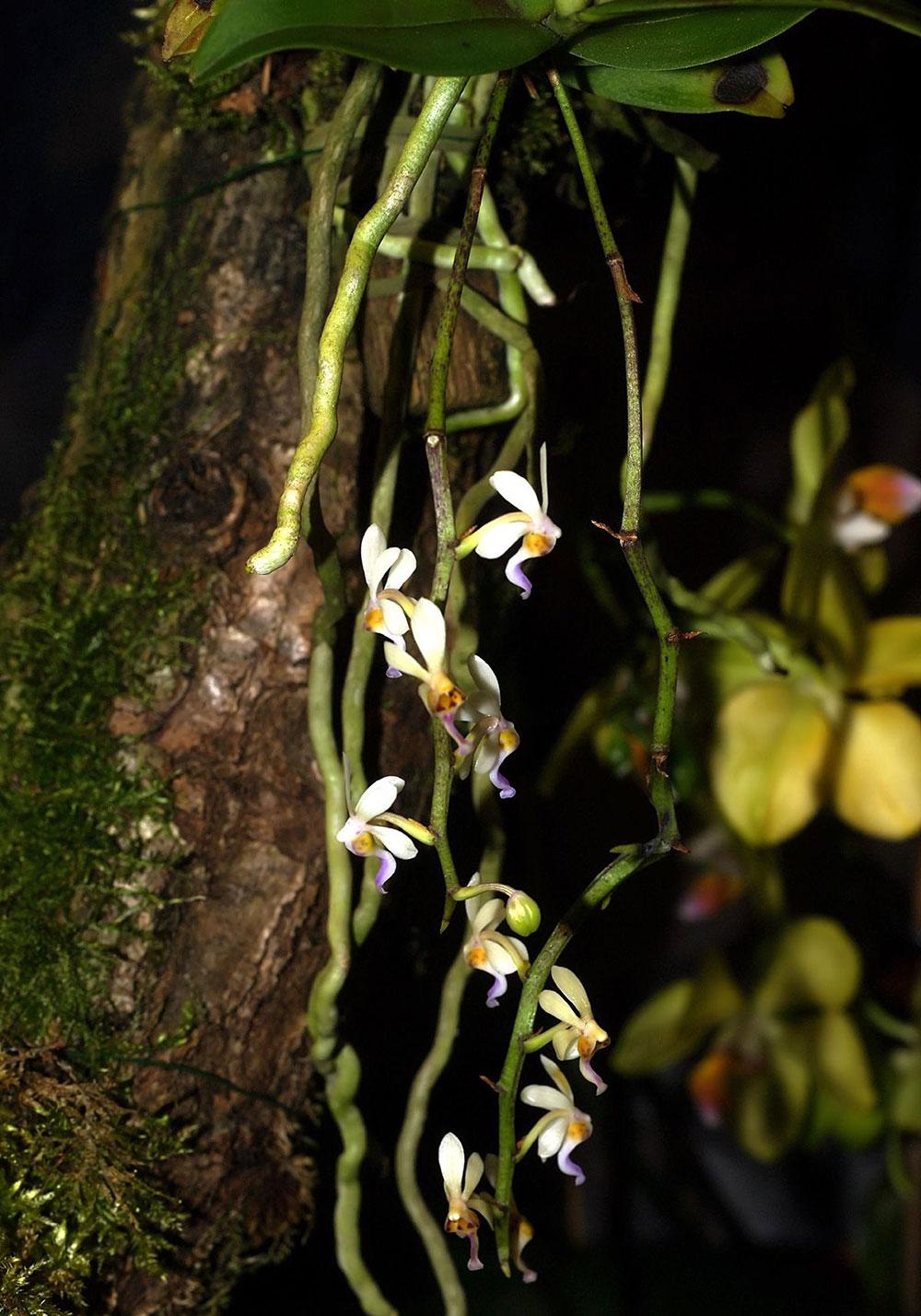 蛇舌兰属Diploprora Hook.f.