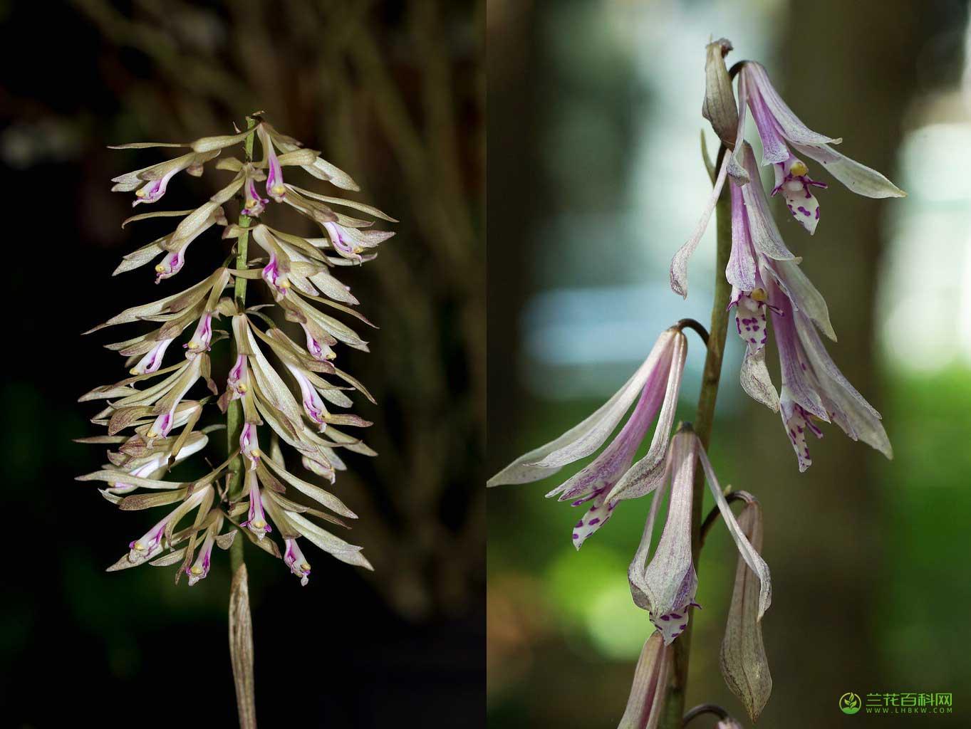 杜鹃兰Cremastra appendiculata (D.Don) Makino