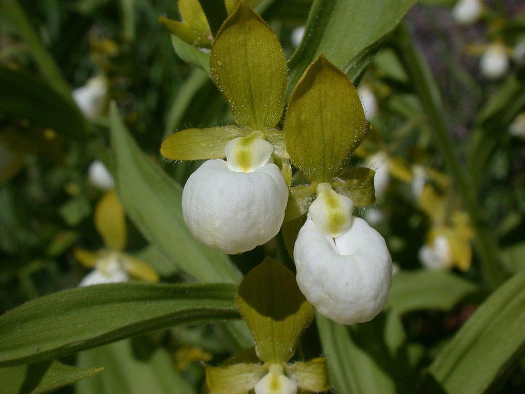 加州杓兰Cypripedium californicum A.Gray
