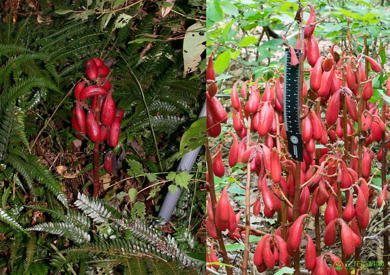 肉果兰属Cyrtosia Blume