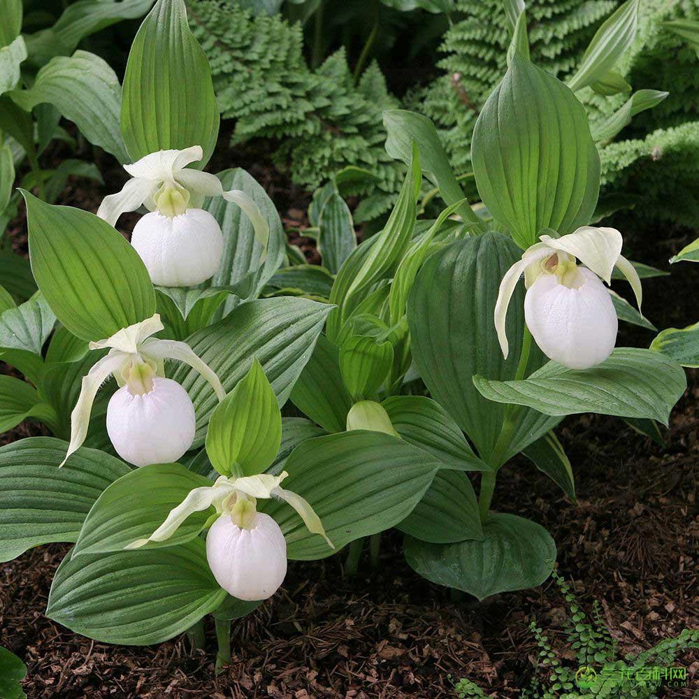 杓兰属Cypripedium L.