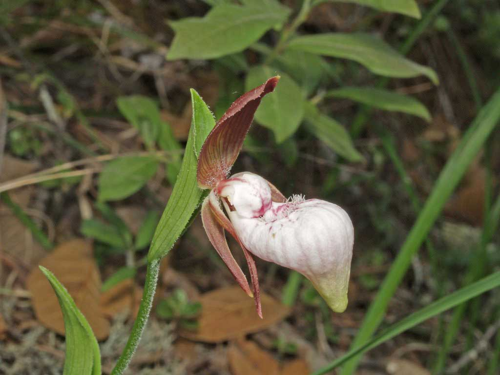 离萼杓兰Cypripedium plectrochilum Franch.