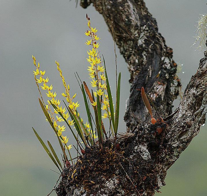 足柱兰属常见兰花品种高清图片鉴赏