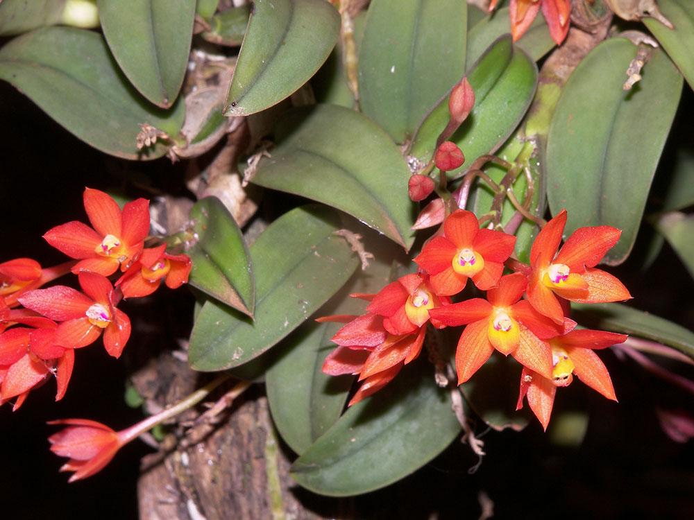 卡特兰原种野生品种图鉴