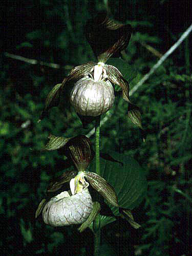 凯瑟琳杓兰Cypripedium × catherinae Aver.
