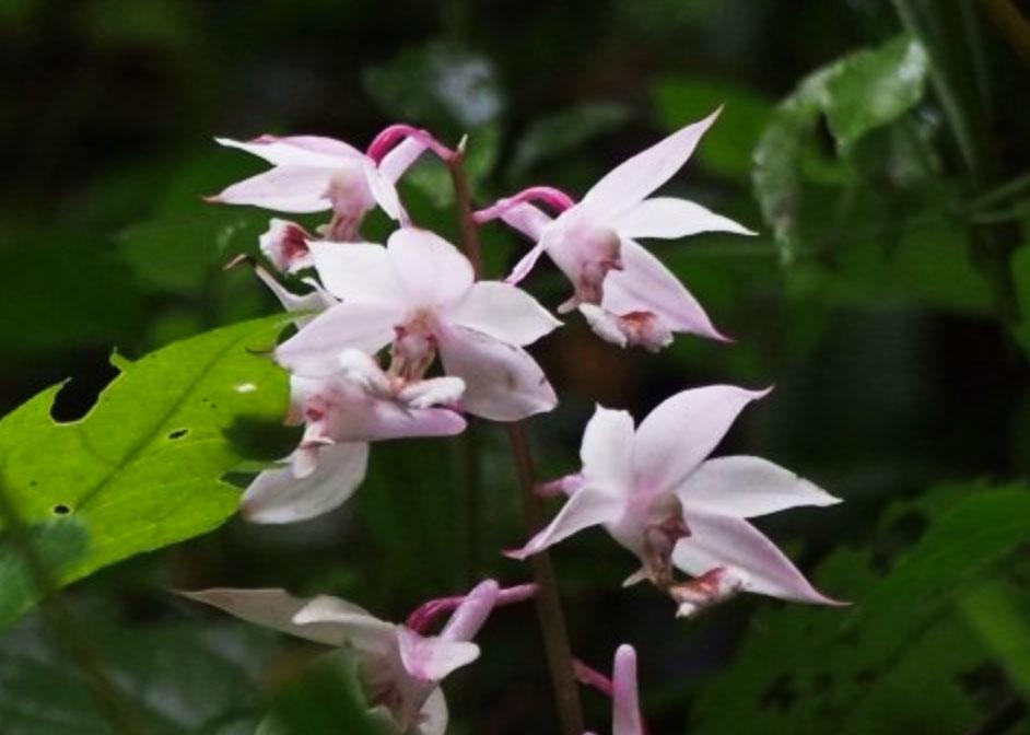 乐昌虾脊兰Calanthe lechangensis Z.H.Tsi & Tang