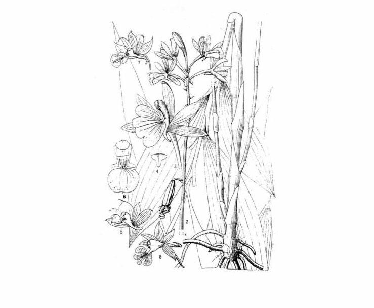南昆虾脊兰Calanthe nankunensis Z.H.Tsi