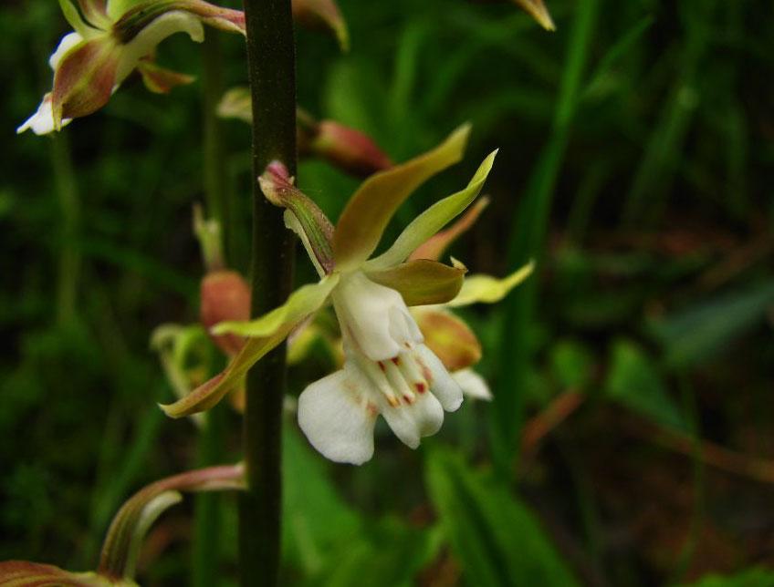 匙瓣虾脊兰Calanthe simplex Seidenf.
