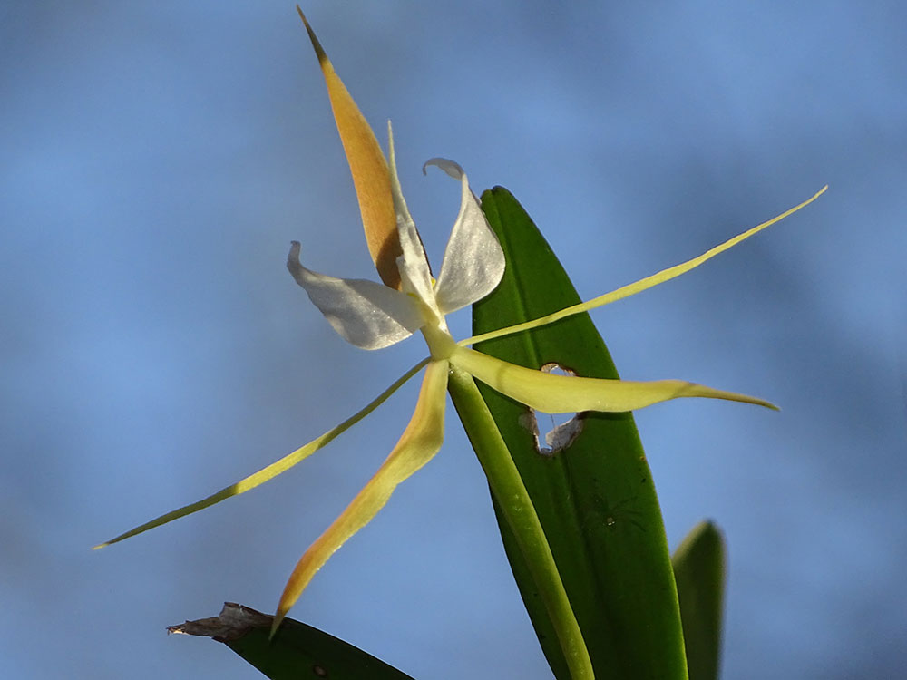 夜香树兰Epidendrum nocturnum Jacq.