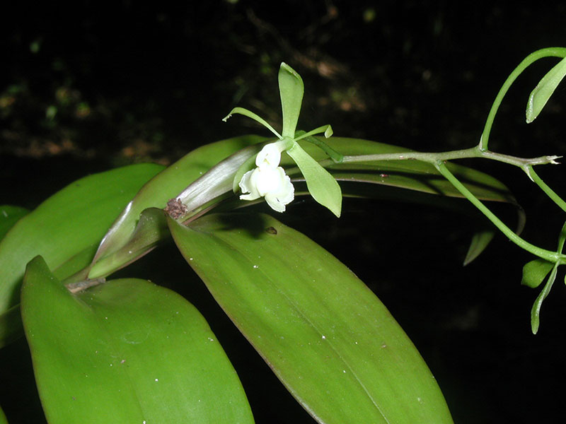 Epidendrum paniculatum Rchb.f.