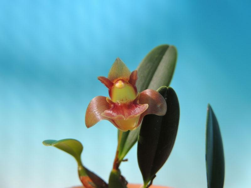 厚唇兰Epigeneium clemensiae Gagnep.