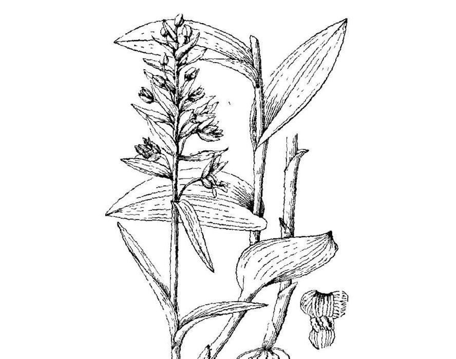 火烧兰属品种有哪些?