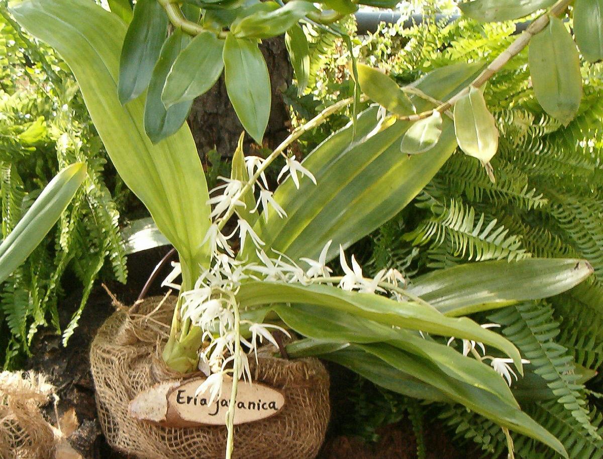 香花毛兰/爪哇毛兰Eria javanica (Sw.) Blume