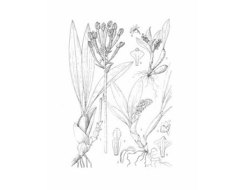 双点毛兰Eria bipunctata Lindl.