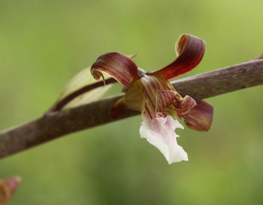 彼得氏美冠兰Eulophia petersii(Rchb.f.)Rchb.f.