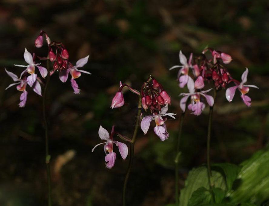 墨脱虾脊兰Calanthe metoensis Z.H.Tsi & K.Y.Lang