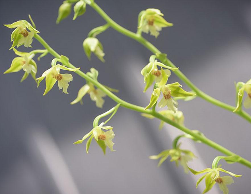 戟形虾脊兰Calanthe nipponica Makino