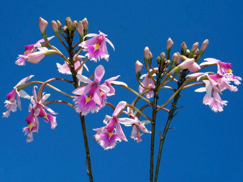 美花树兰Epidendrum galanthum