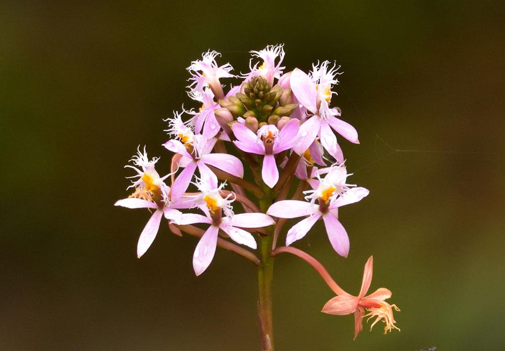 芦茎树兰Epidendrum ibaguense Kunth
