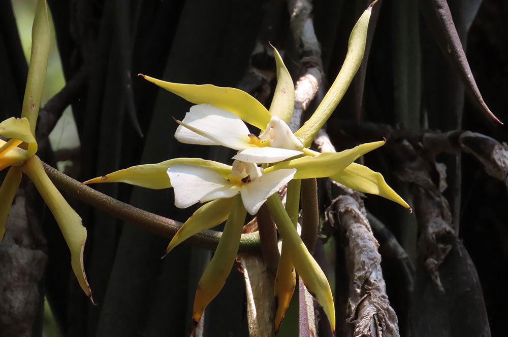 帕克森树兰Epidendrum parkinsonianum Hook.