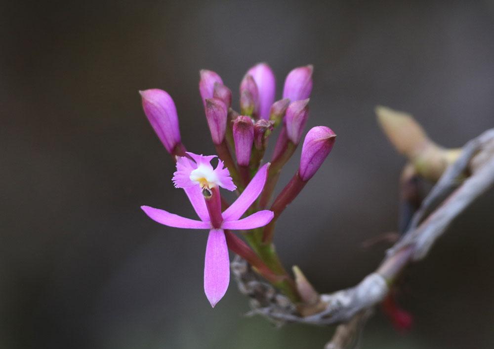 Epidendrum secundum Jacq.