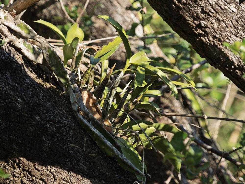 Epidendrum stamfordianum Bateman