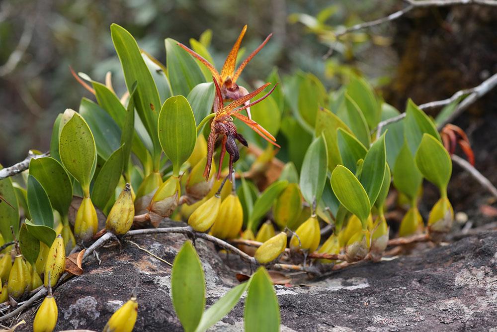 宽叶厚唇兰Epigeneium amplum (Lindl. ) Summerh.