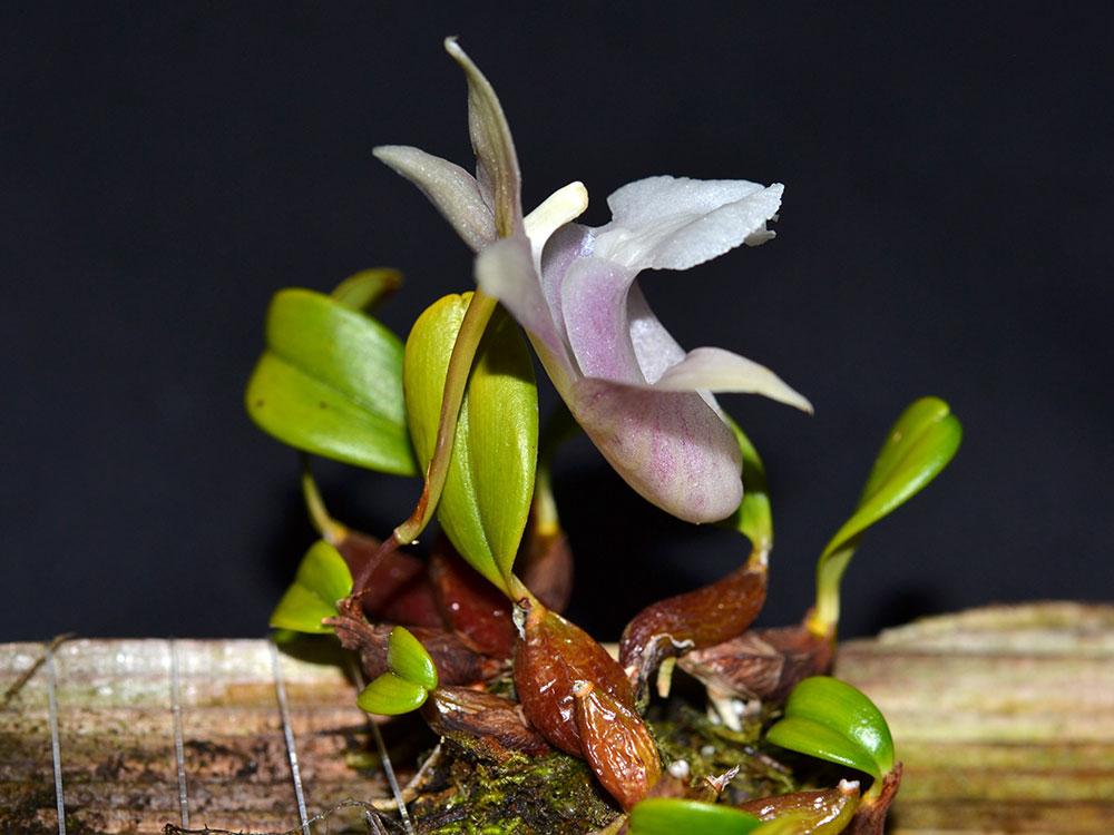 单叶厚唇兰Epigeneium fargesii (Finet) Gagnep.