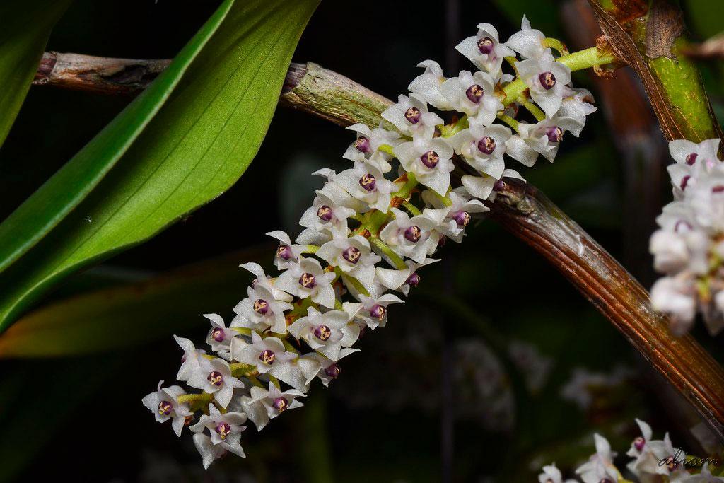 多花毛兰Eria floribunda Lindl.