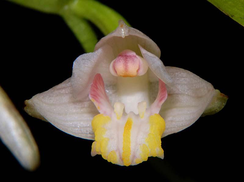 玫瑰毛兰Eria rosea Lindl.