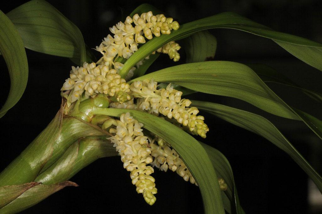 密花毛兰Eria spicata (D.Don) Hand.-Mazz.